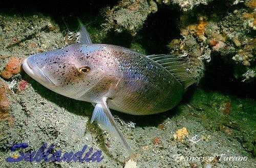 ft dentice 11, Sinarit Balığı hakkında bilgi